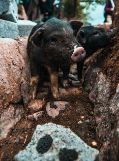 Sapa Achselhöhle Schwein